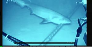 le cable la charrue et le requin
